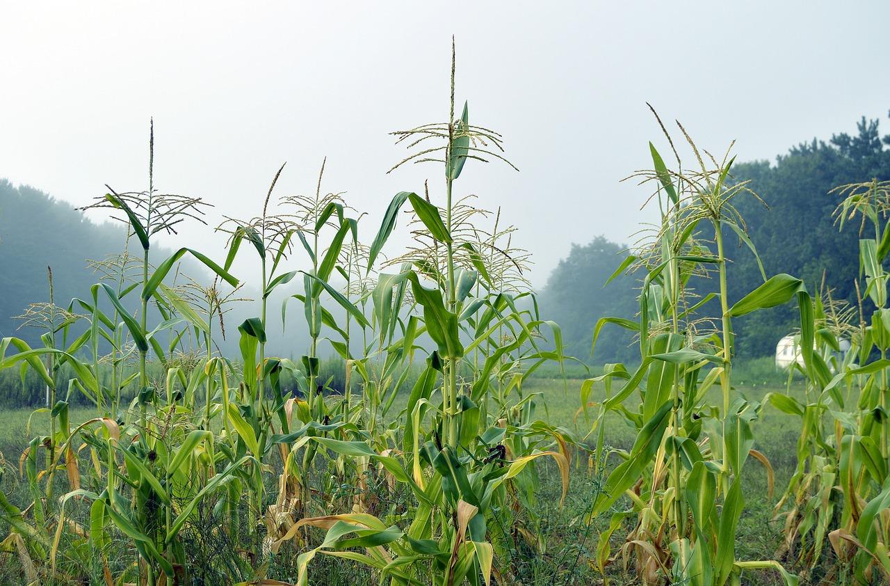 corn corn stalk stalk free picture