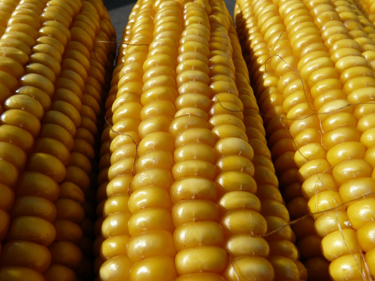 corn corn on the cob corn kernels free photo