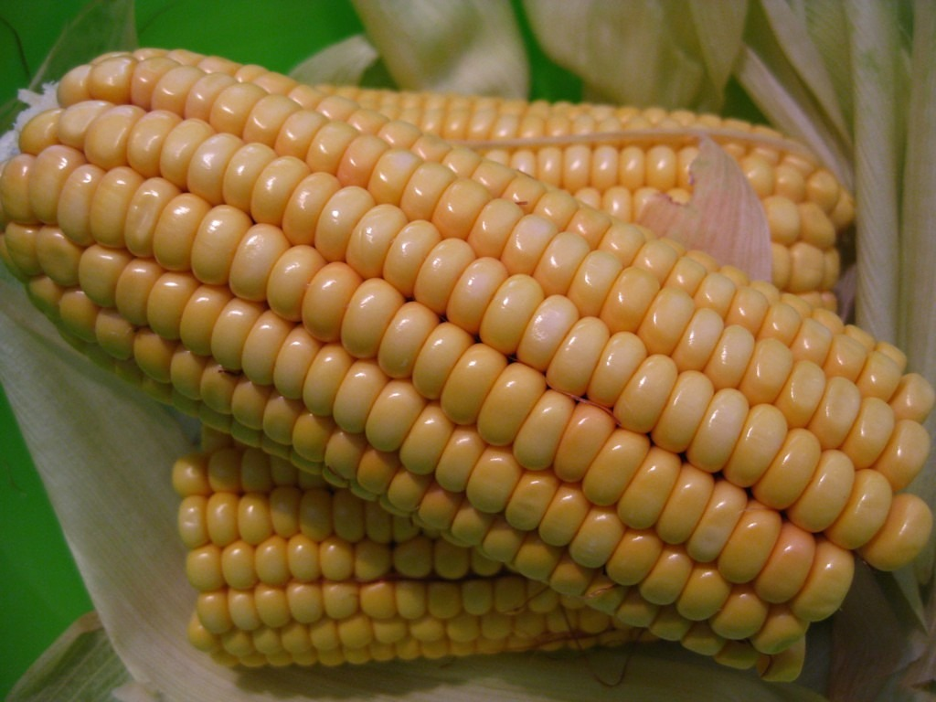 corn on the cob corn sweet corn free photo