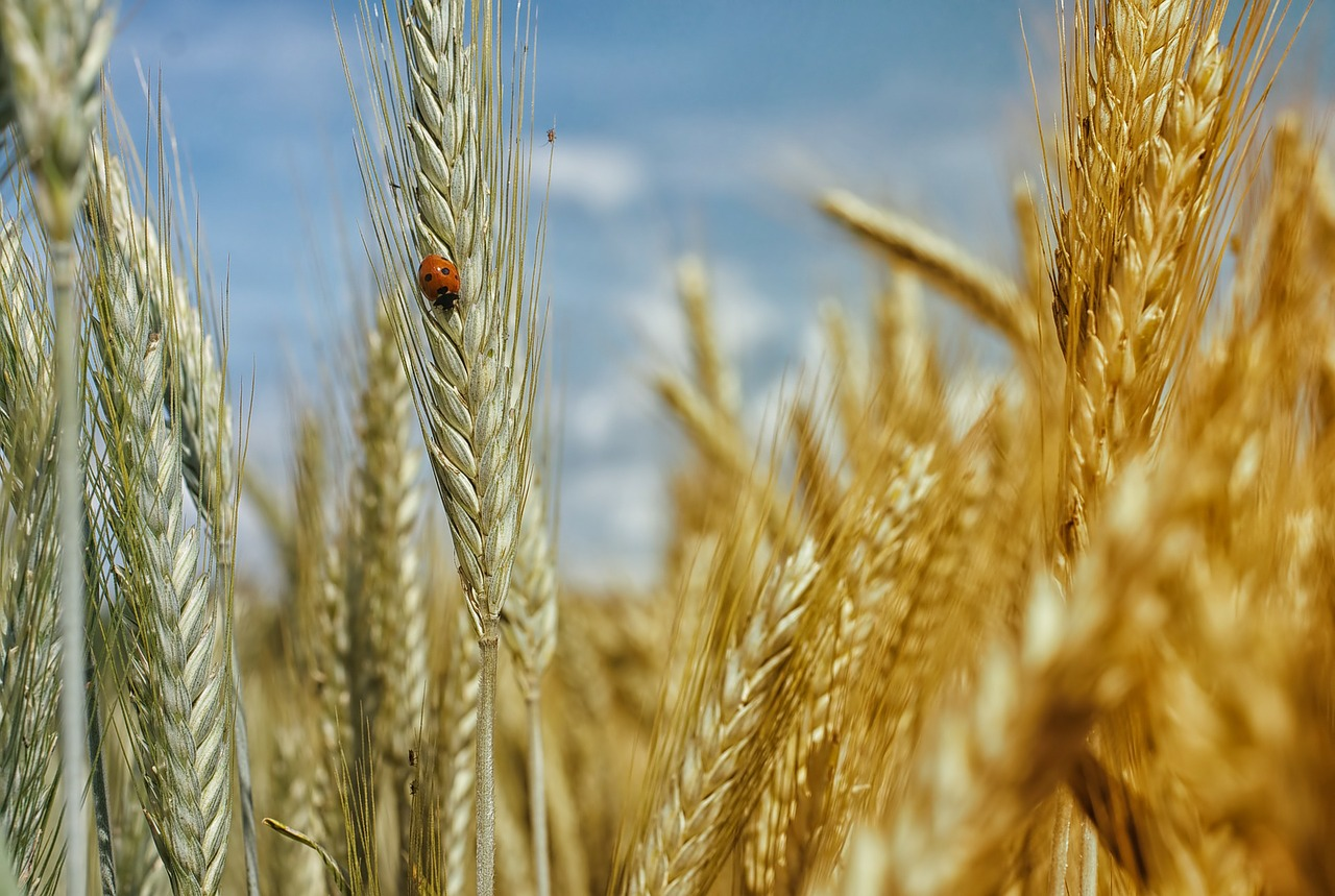 cornfield,wheat field,wheat,cereals,summer holiday,field,arable,mature,harvest,insect,ladybug,siebenpunkt,golden yellow,ready to be harvested,green,grain,summer,the whole summer,summer time,free pictures, free photos, free images, royalty free, free illustrations, public domain