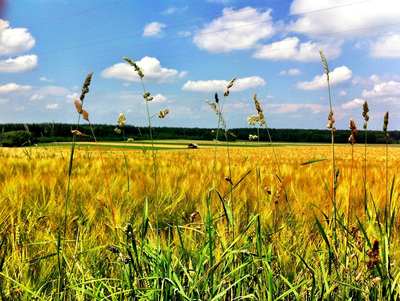 cornfield,nature,summer,sky,free pictures, free photos, free images, royalty free, free illustrations, public domain