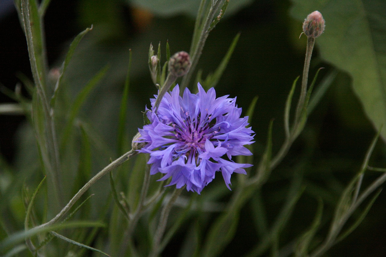 cornflower blue flower free photo