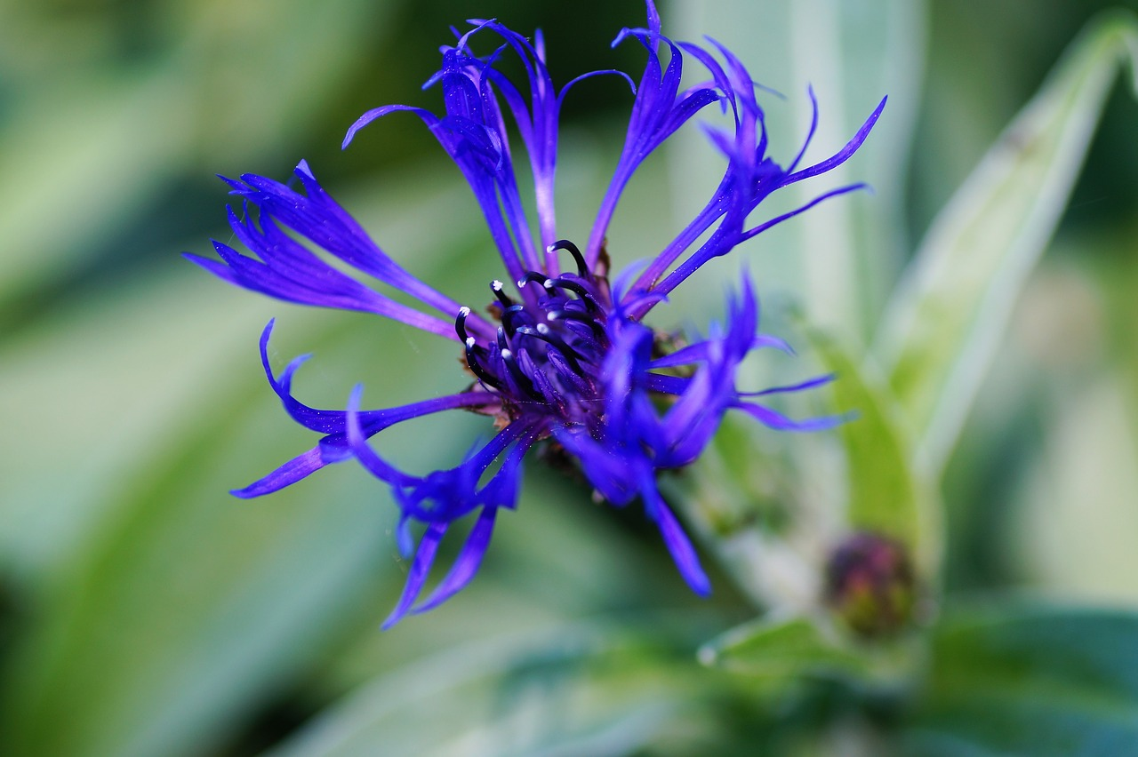 cornflower  garden  blue free photo