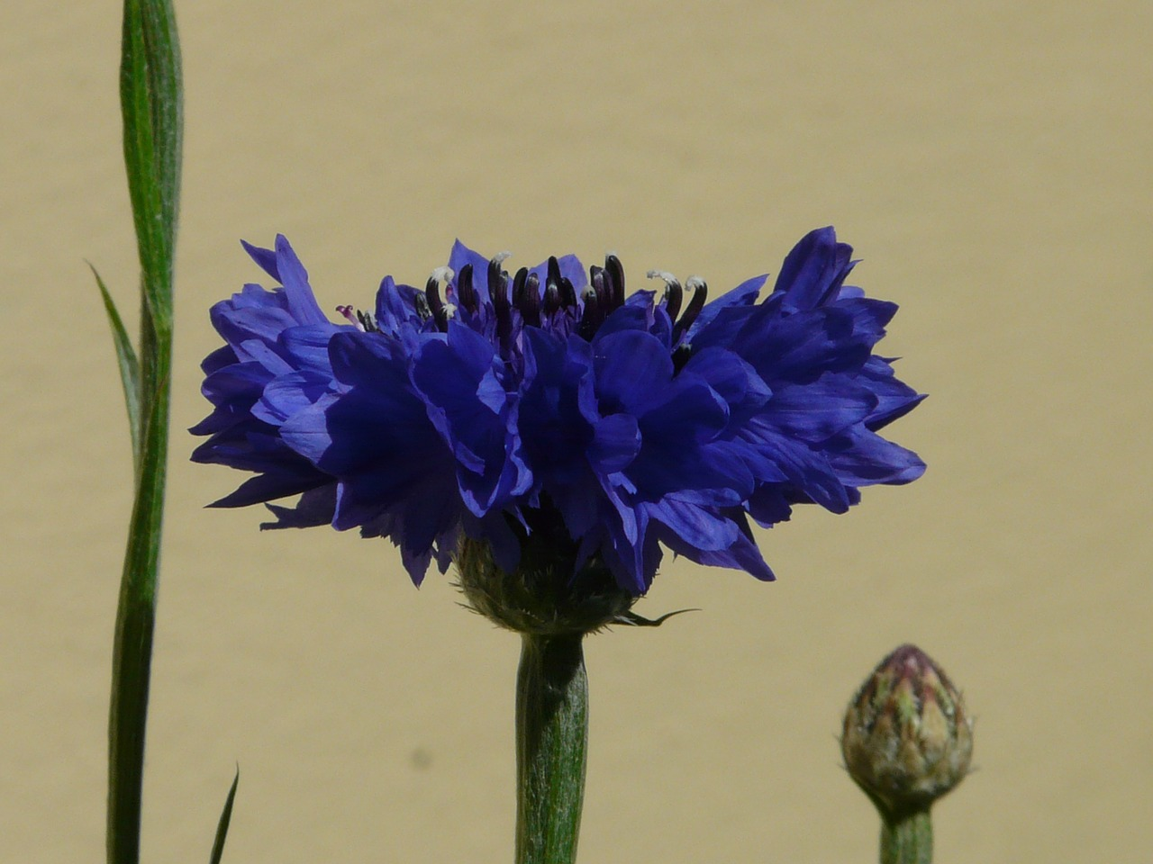 cornflower leaves blossom free photo