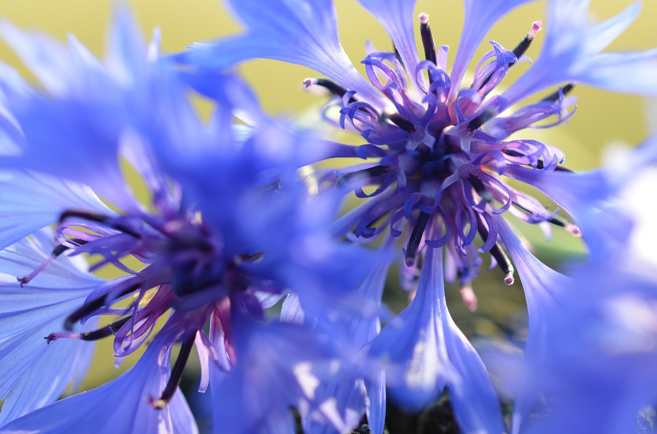 cornflowers blue blossom free photo