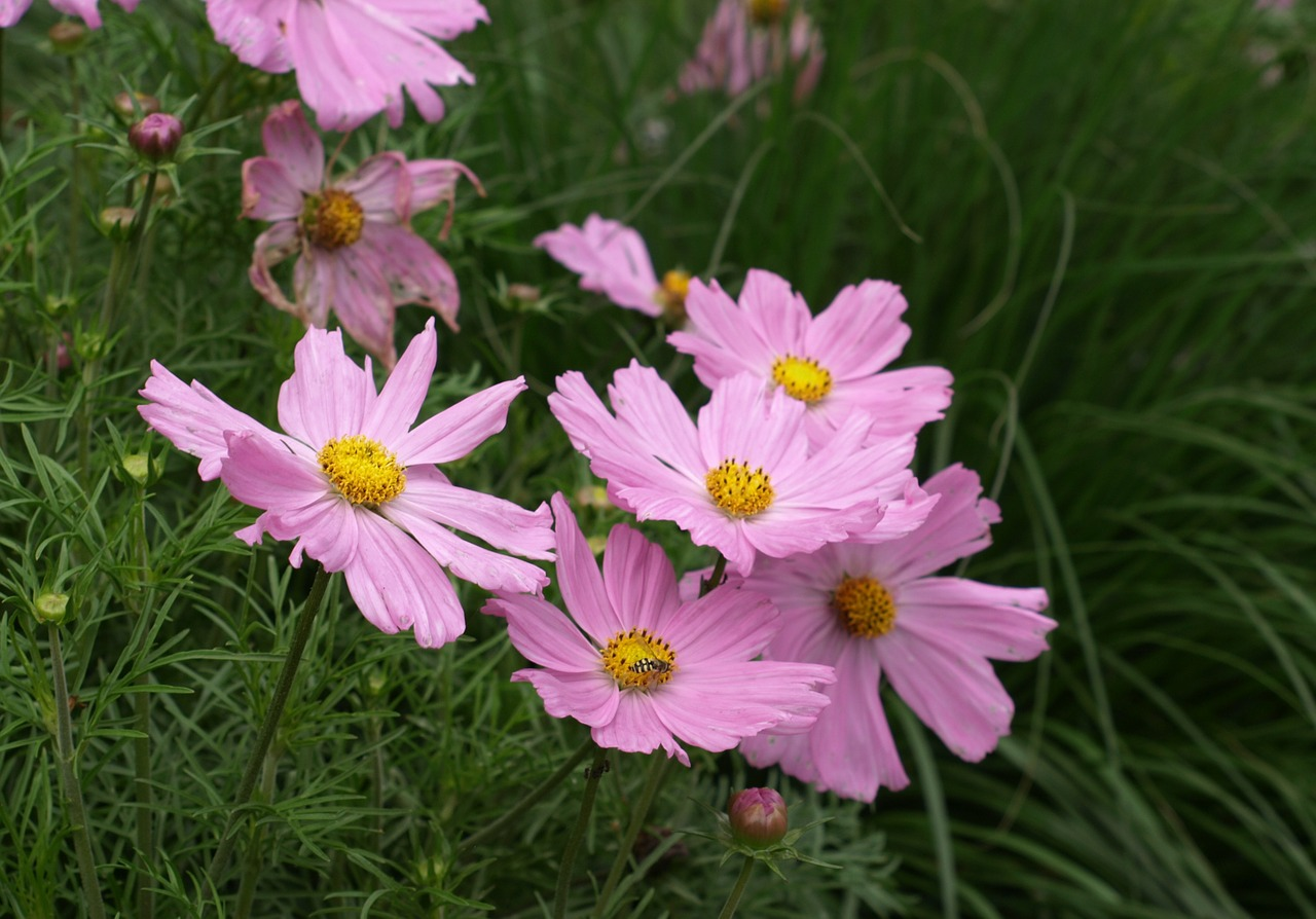 cosmea cosmos cosmee free photo