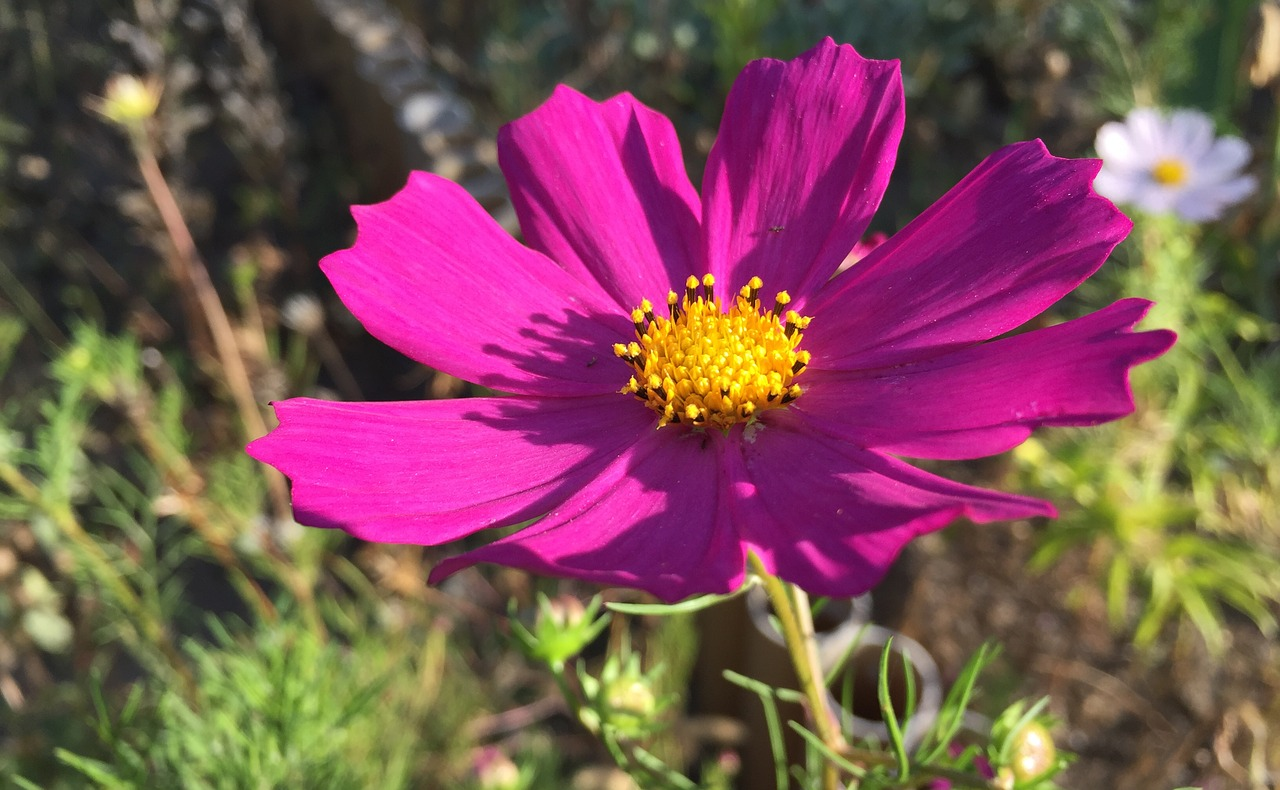 Cosmosgardenflowersgarden Flowerpink Free Photo From Needpix