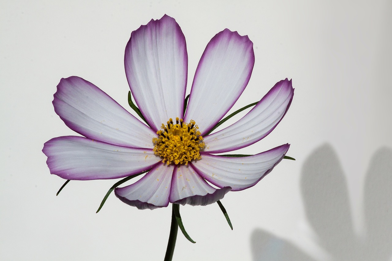 cosmos,como bipinnatus,cosmea bipinnata,leaflet leaved schmuckblume,kosmee,plant,composites,asteraceae,ornamental plant,inflorescence,pink,white,shadow,free pictures, free photos, free images, royalty free, free illustrations, public domain