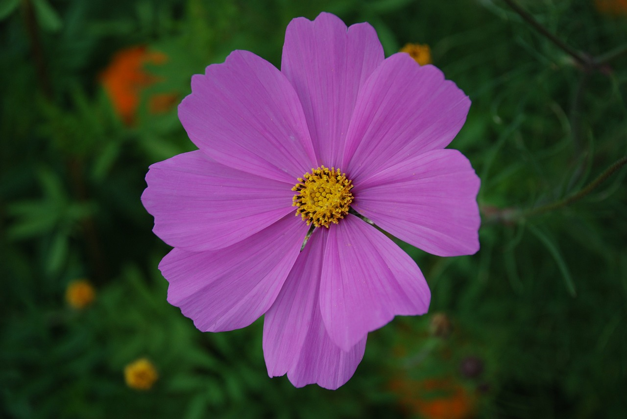 cosmos flower pink free photo