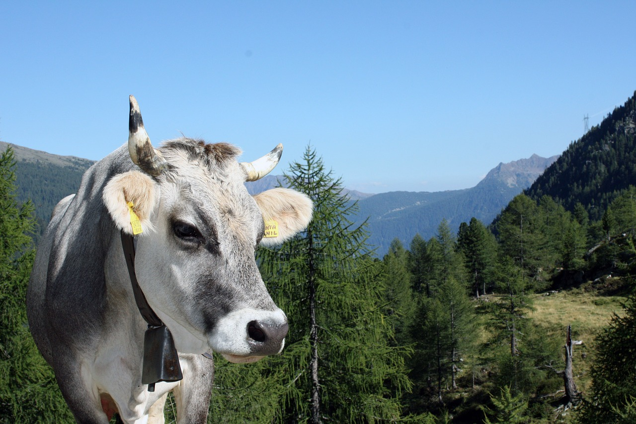 cow animal tyrol free photo