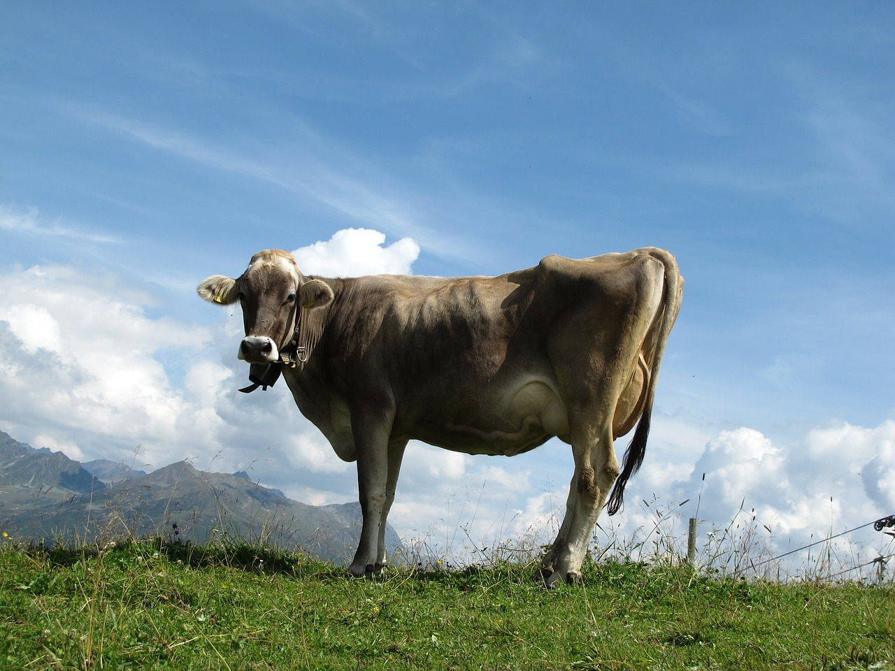 cow animal brown free photo
