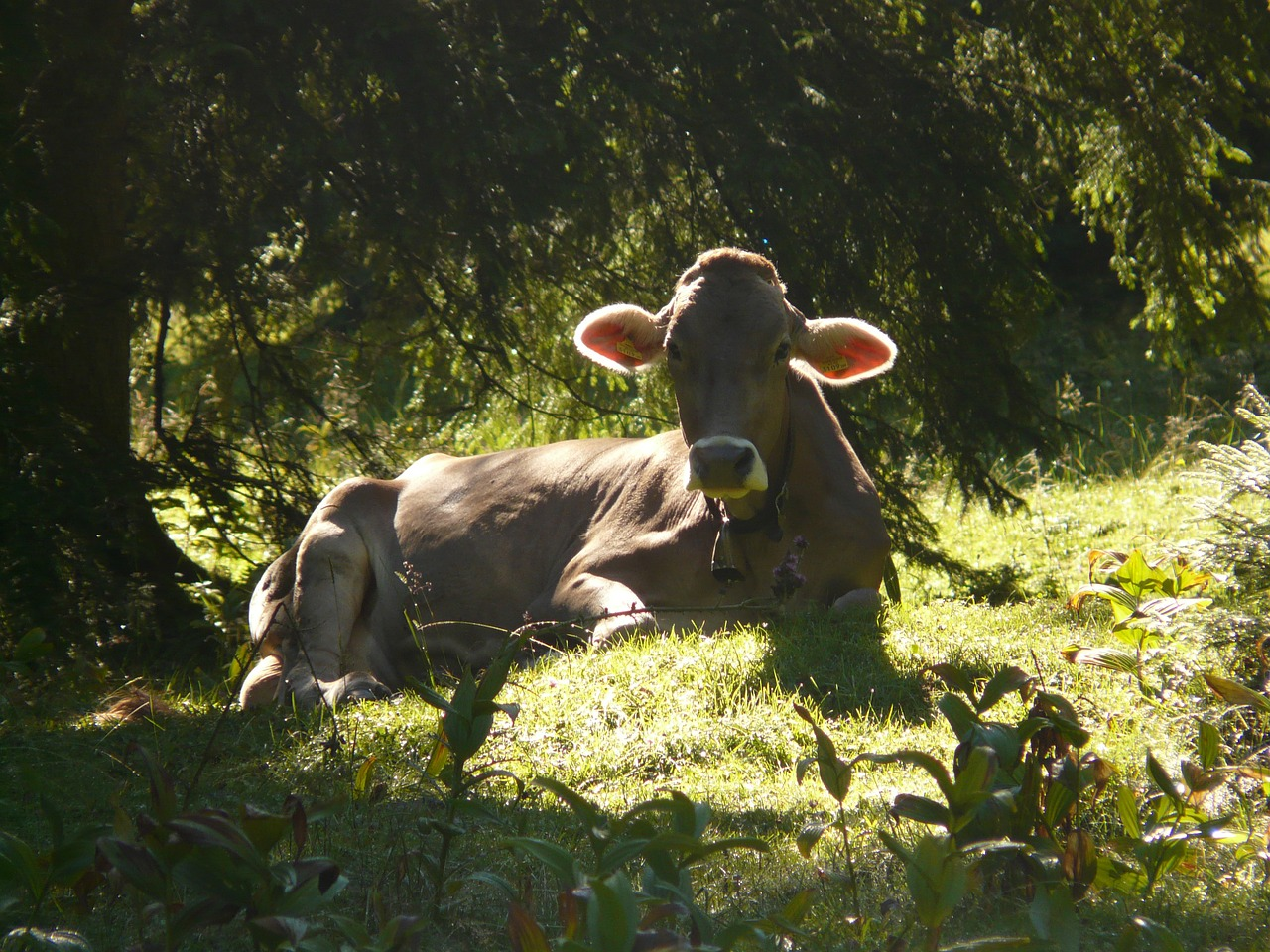 cow back light animal free photo