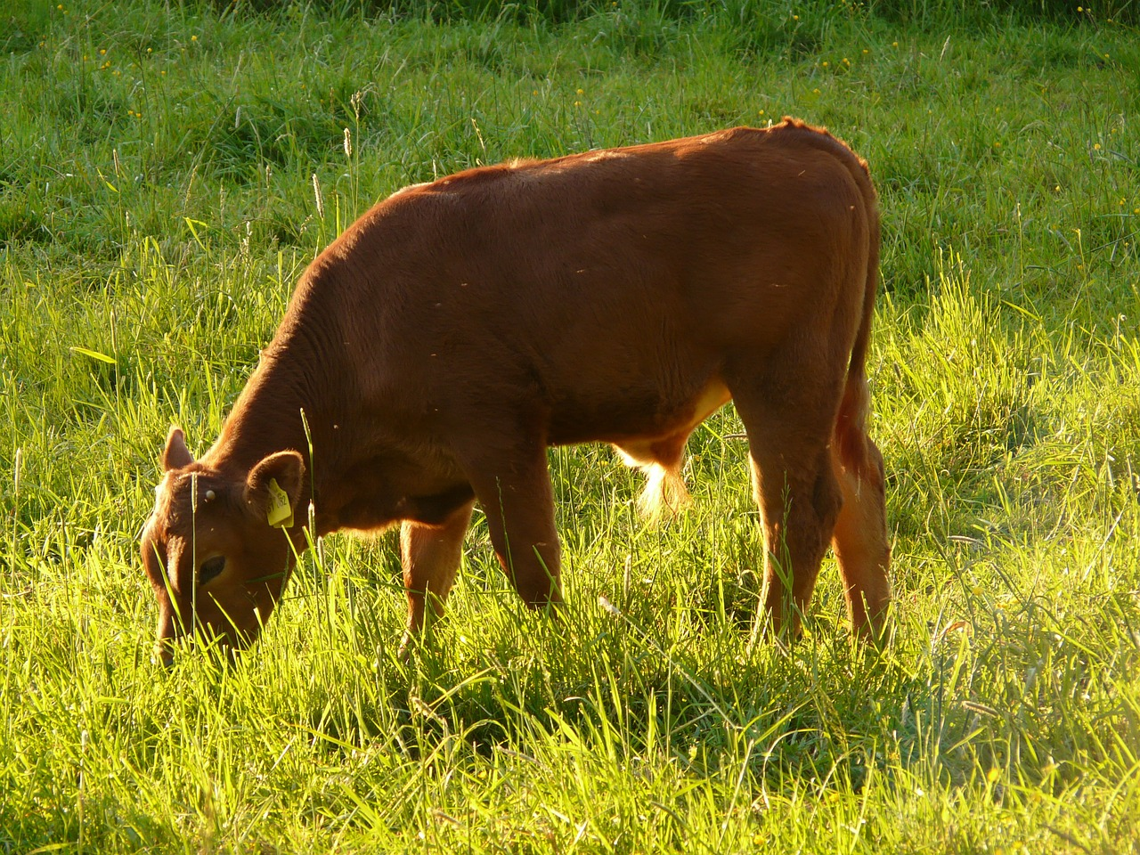 cow domestic cattle beef free photo