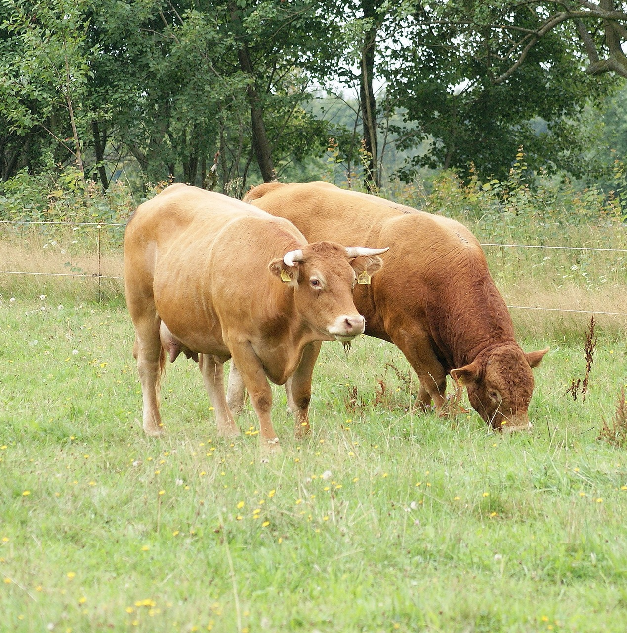 cows animal brown free photo