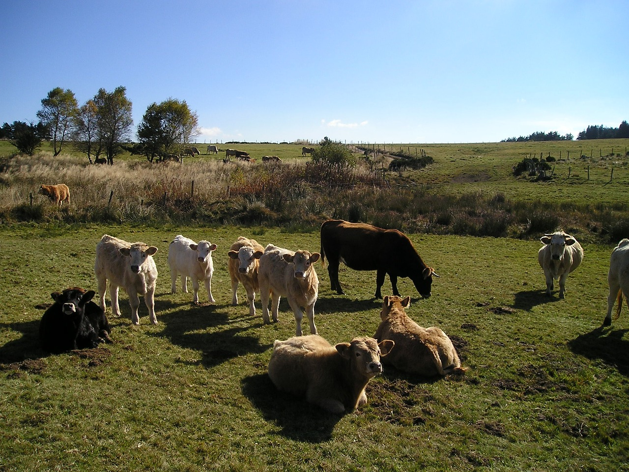 cows cattle nature free photo
