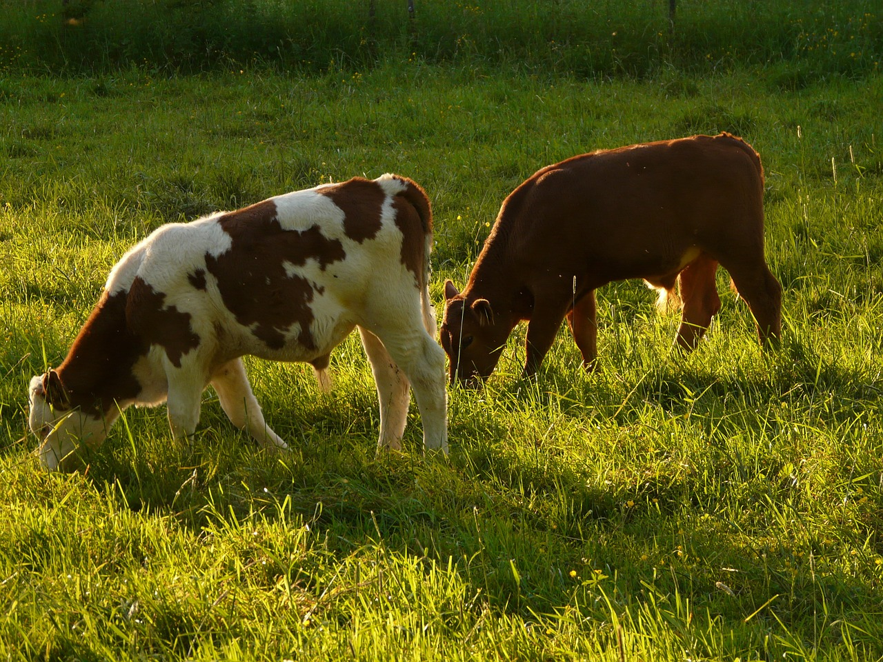 cows cattle beef free photo