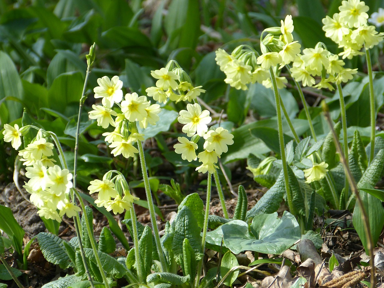 cowslip forest primrose high primrose free photo