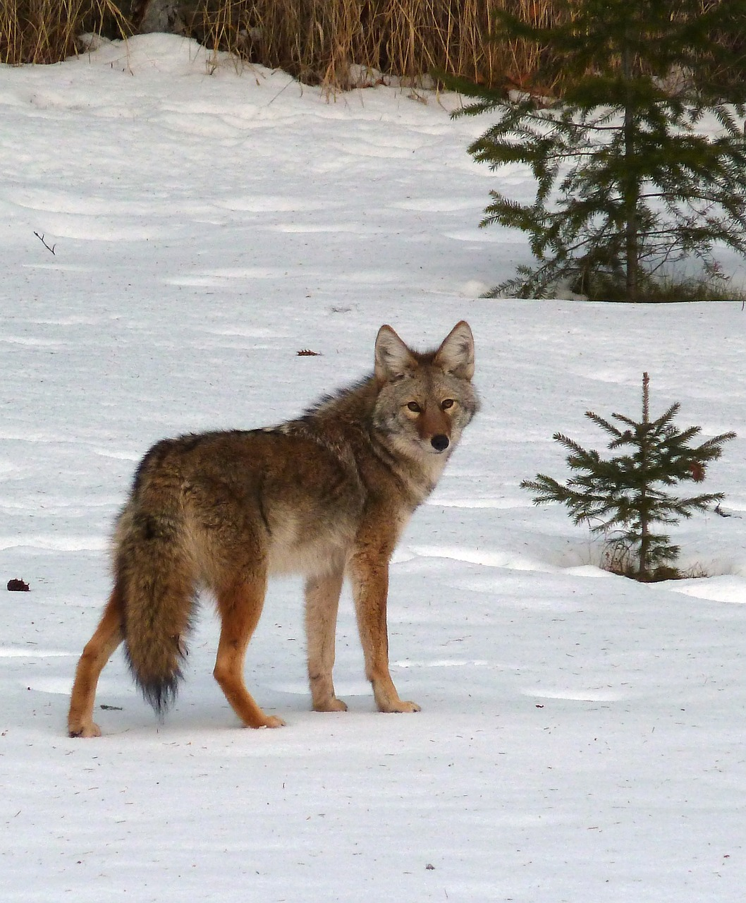 coyote canis latrans animal free photo