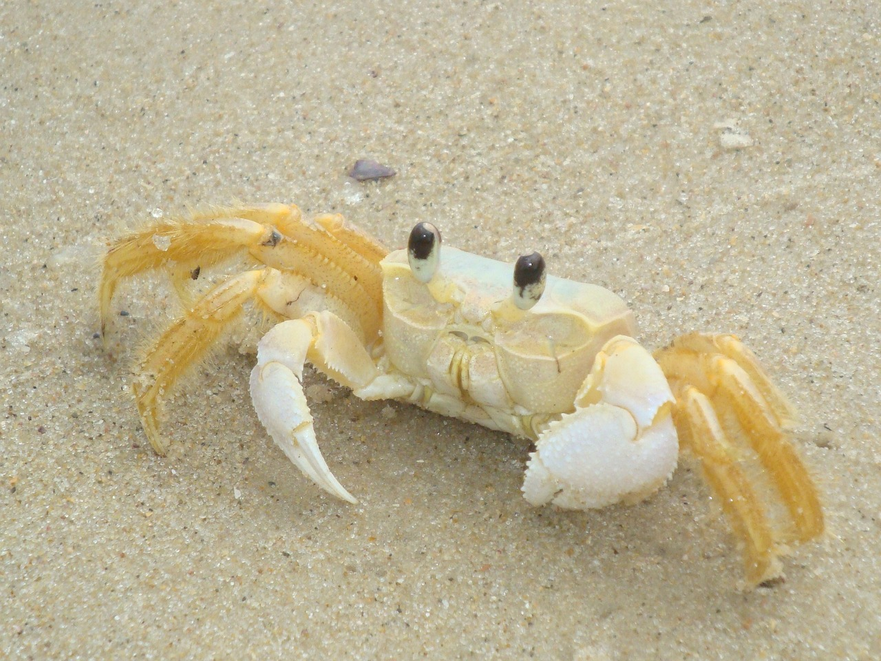 crab crustacean claw free photo