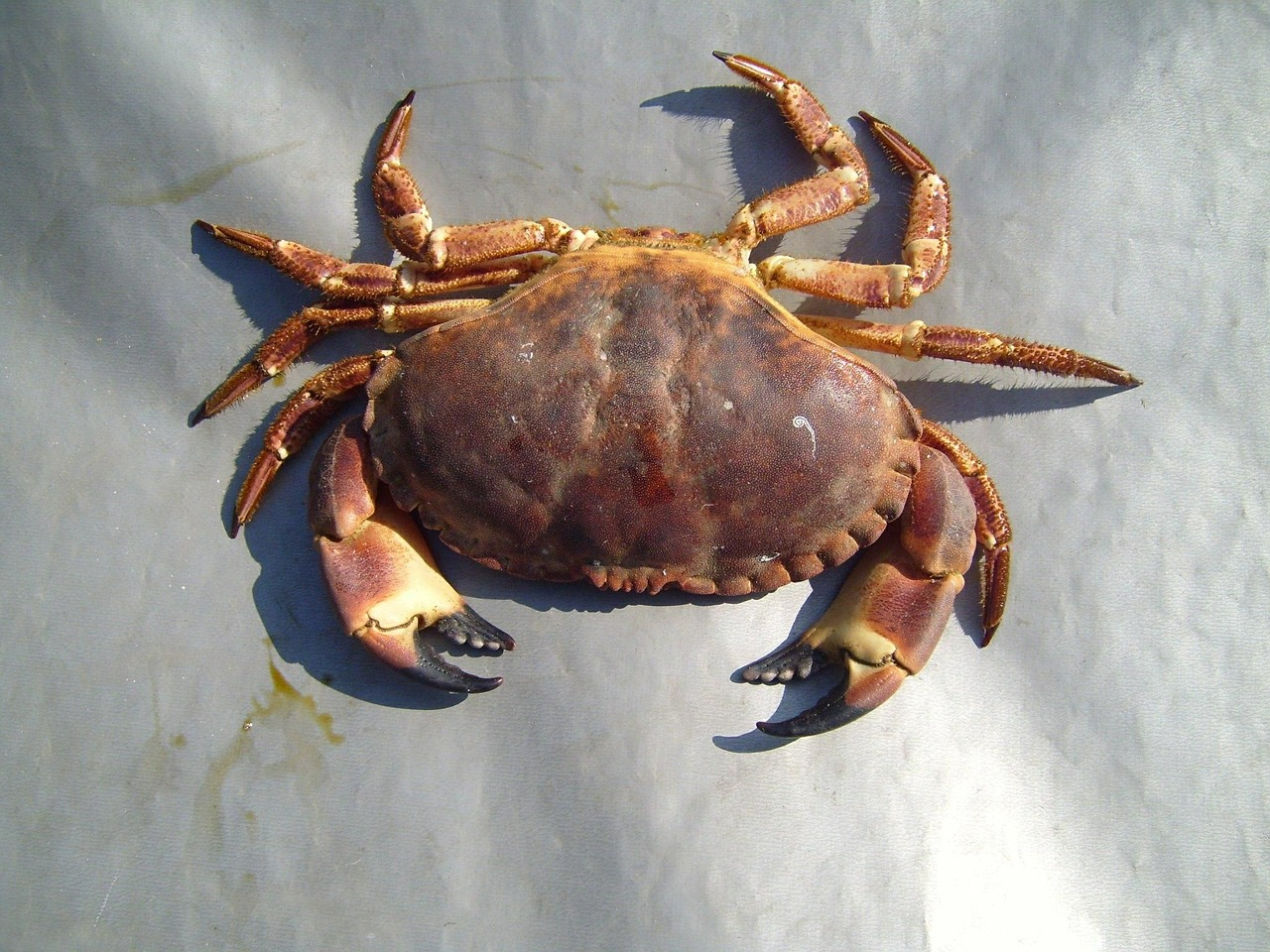 crab arthropods lobsters free photo