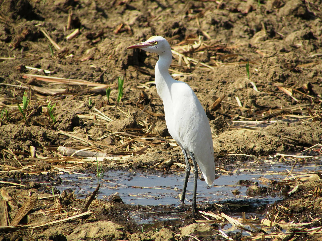 Crane,dharwad,india,bird,fly - free photo from needpix com