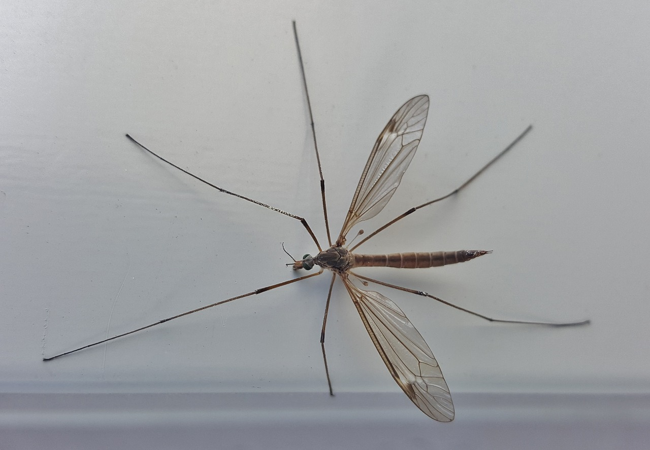 crane fly mosquito eater insect free photo