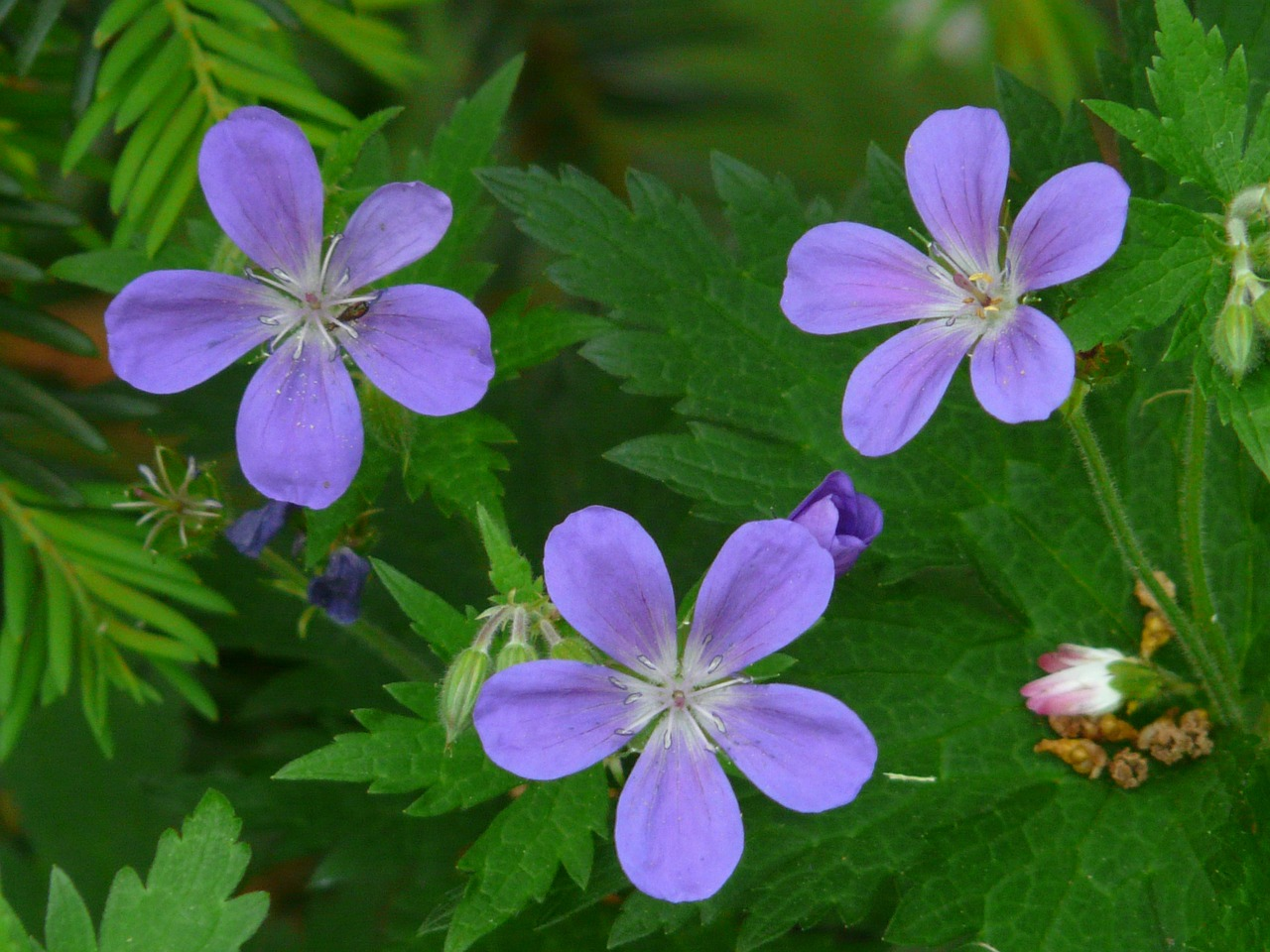 cranesbill blue flower free photo