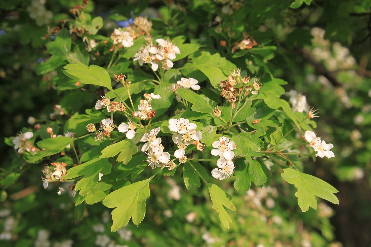 crataegus flowers hawthorn free photo