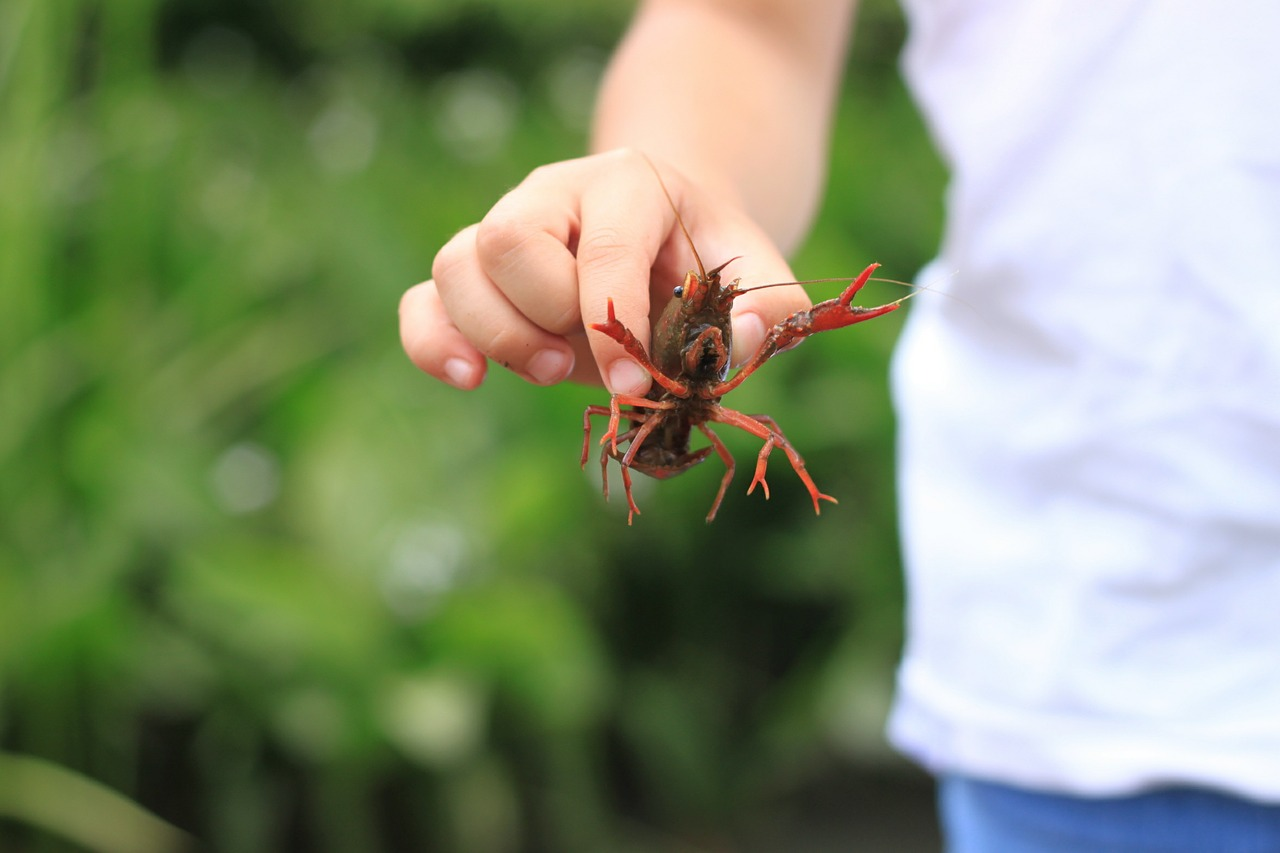crayfish summer japan free photo