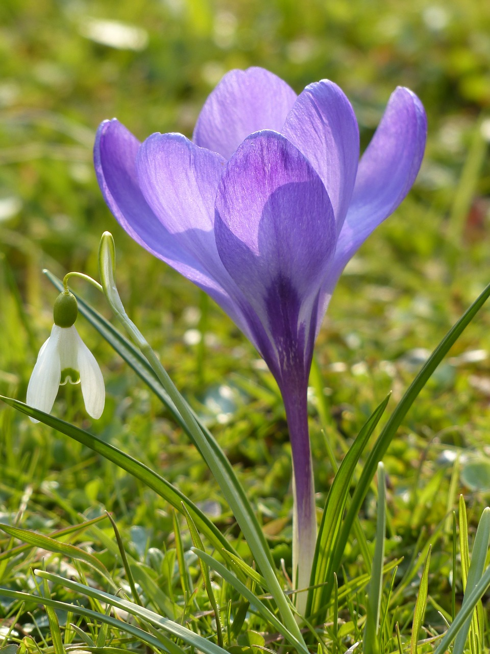crocus purple violet free photo