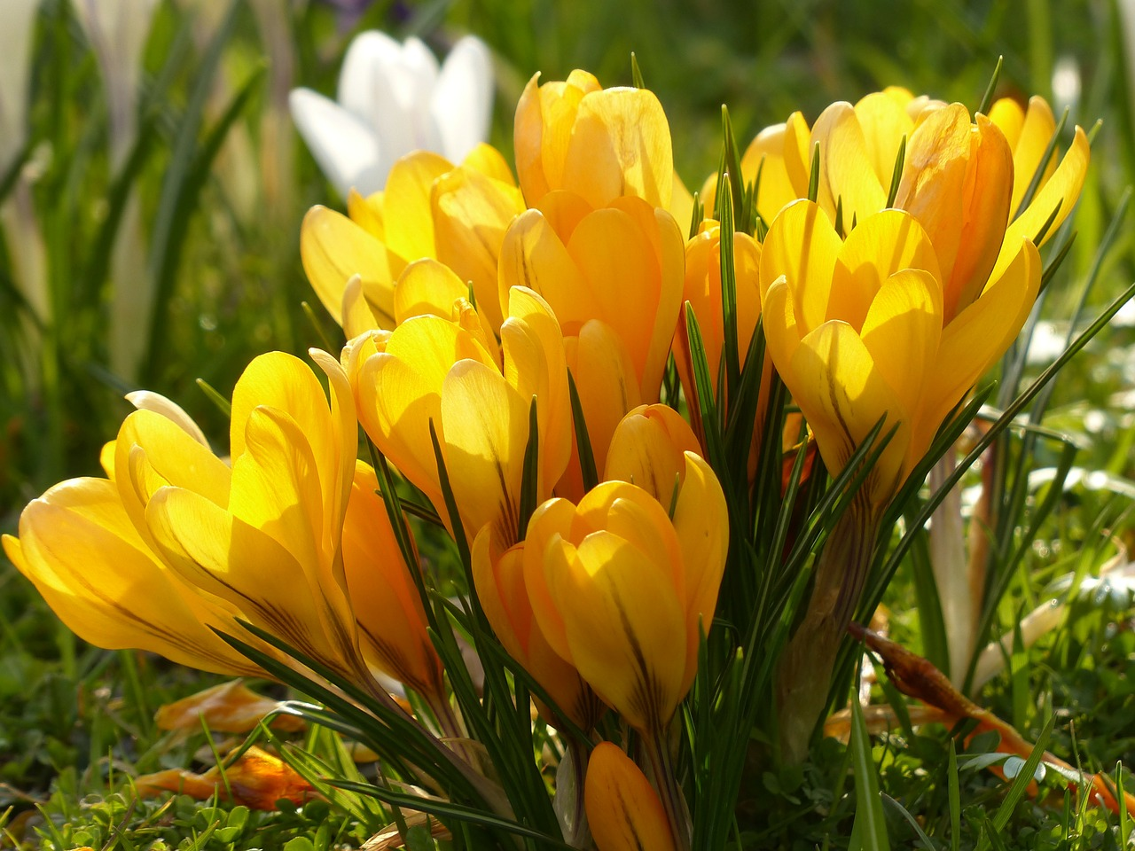 crocus yellow white free photo