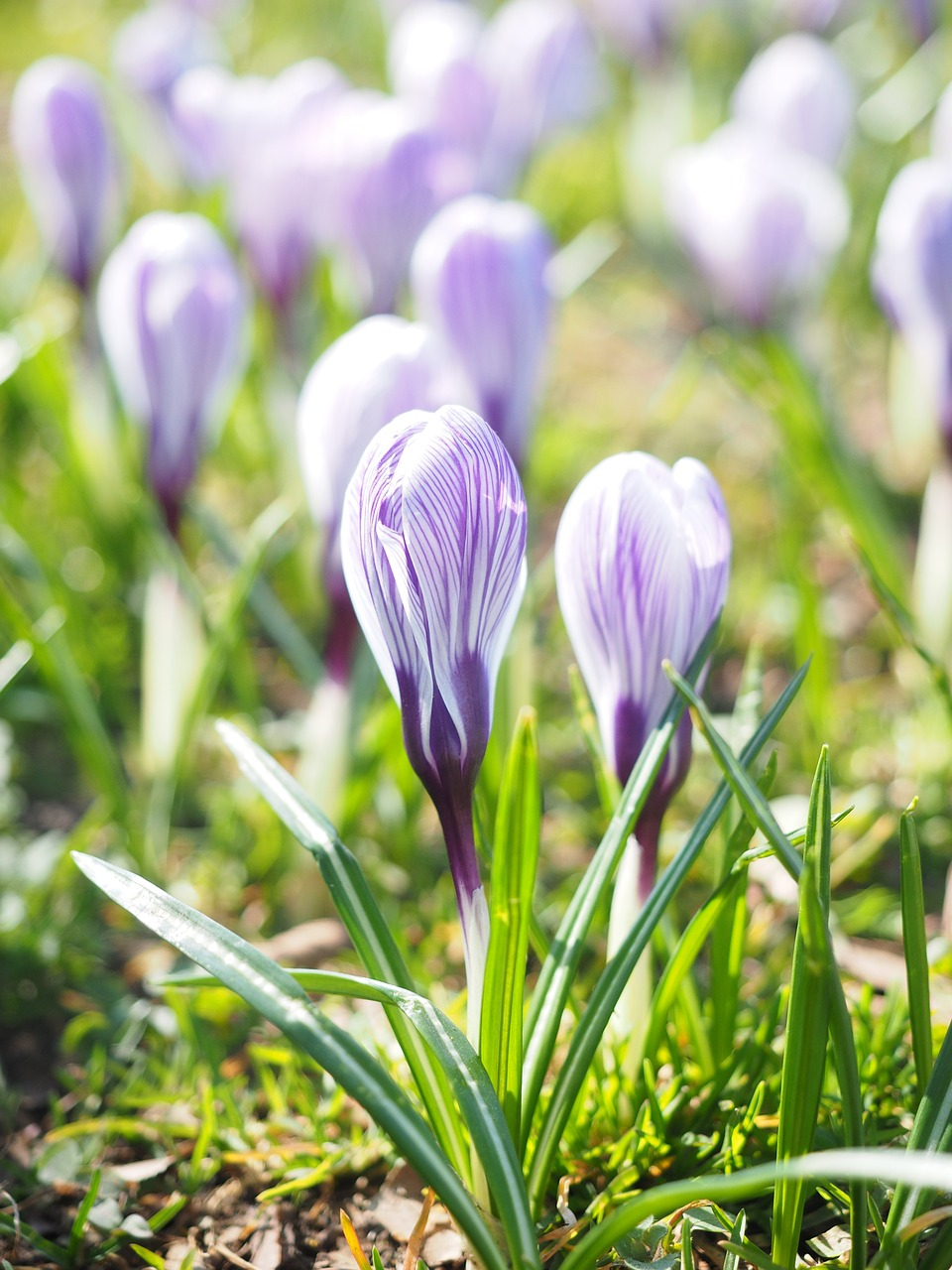 Crocusflowerspringbhenviolet free photo from needpix crocus flower spring mightylinksfo