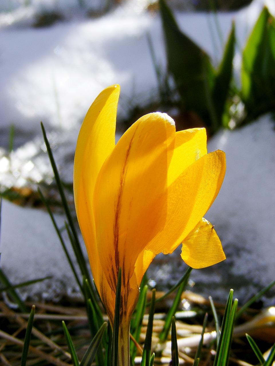 Crocusyellowbloomspringflower Free Photo From Needpix