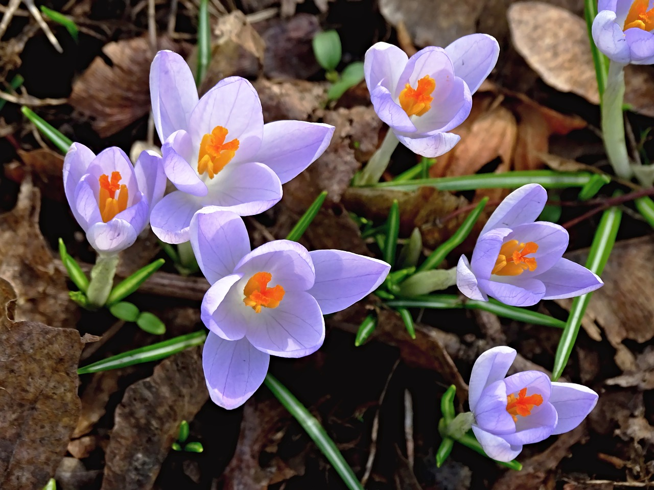 crocus spring lenz free photo