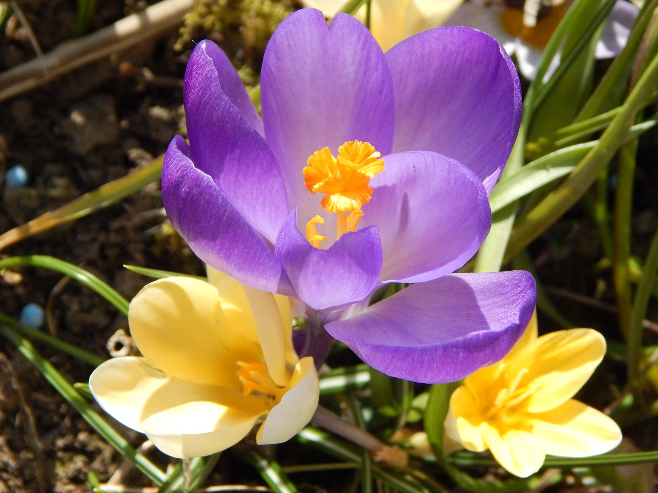 crocus spring spring flower free photo