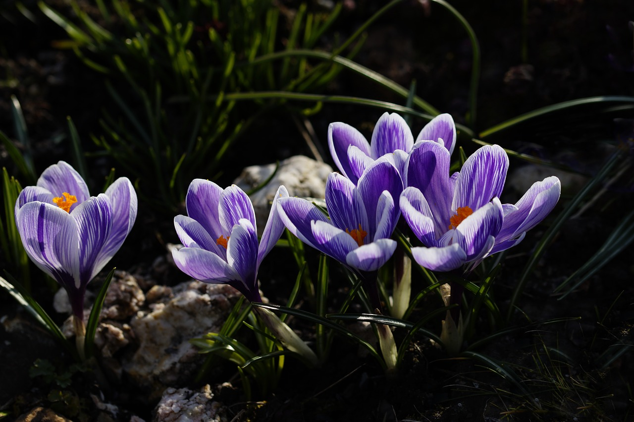 Crocuspurplespring Flowerearly Bloomerviolet Free Photo From