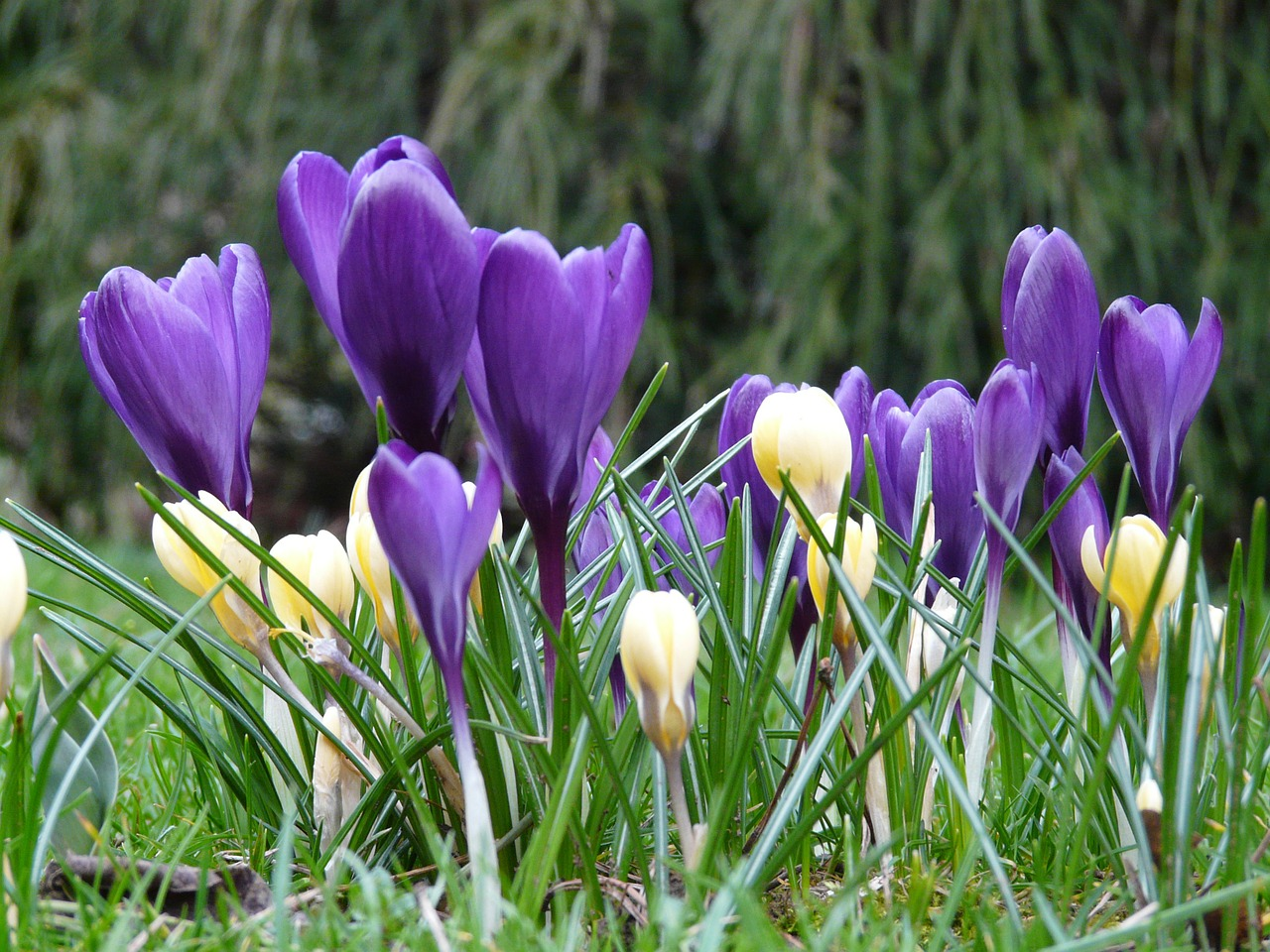 crocus plant garden free photo