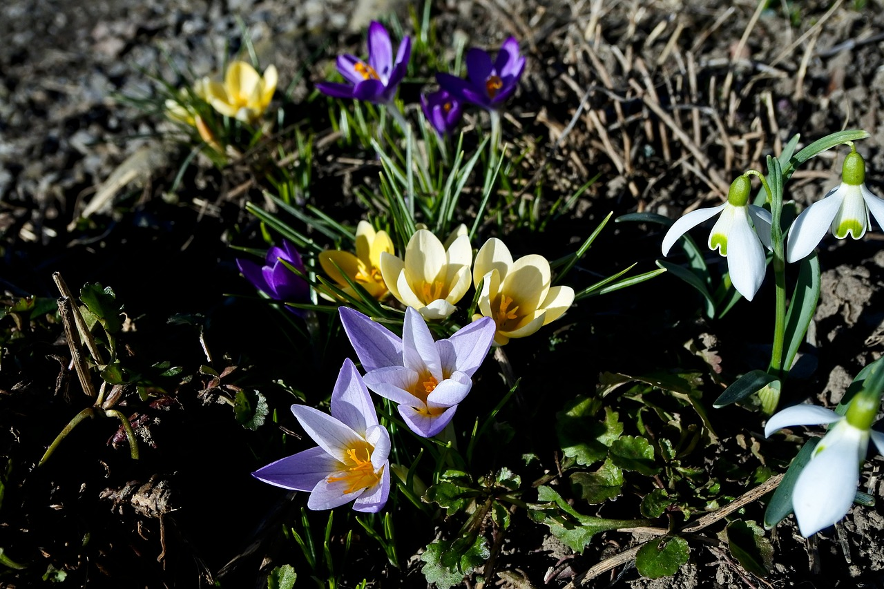 crocus, spring, nature, spring flower, harbinger of spring, spring awakening, garden, bloom, violet, yellow,free pictures, free photos, free images, royalty free, free illustrations, public domain