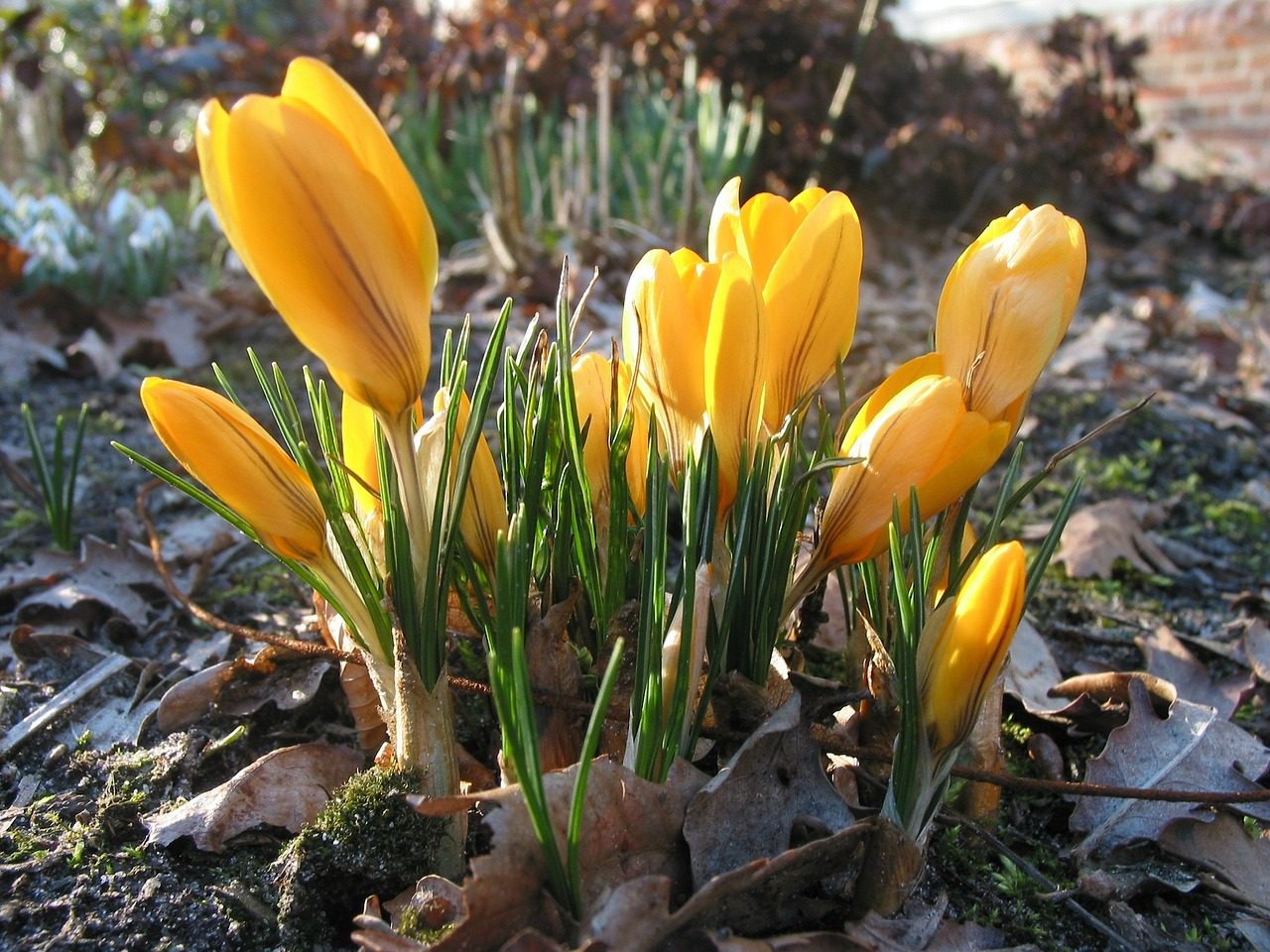 crocus yellow flower free photo