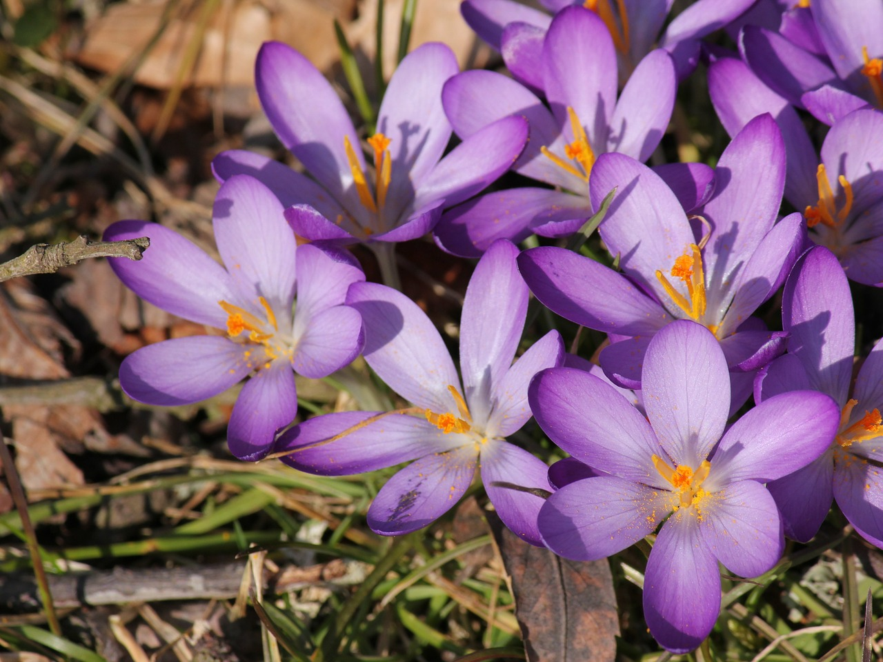 crocus full bloom spring free photo