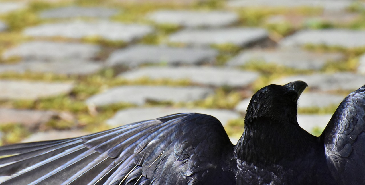 crow, raven bird, raven, black, nature, bill, carrion crows, common raven, animal, birds,free pictures, free photos, free images, royalty free, free illustrations, public domain