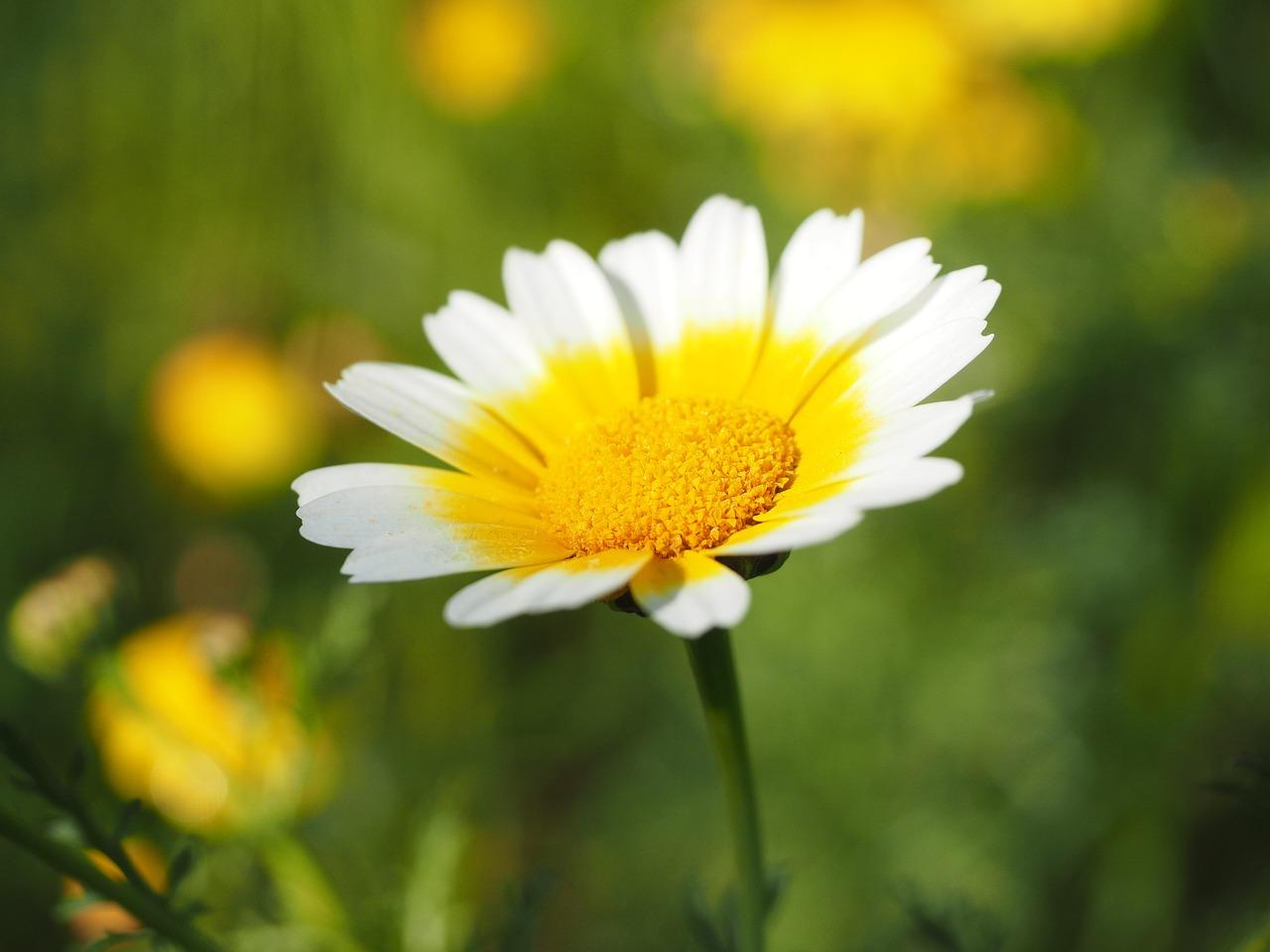 Crown Marigoldflowersfloweryellowwhite Free Photo From Needpix