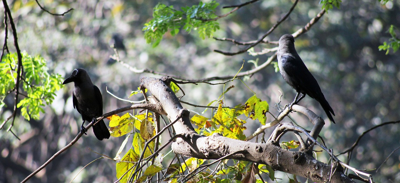 crows branches bird free picture