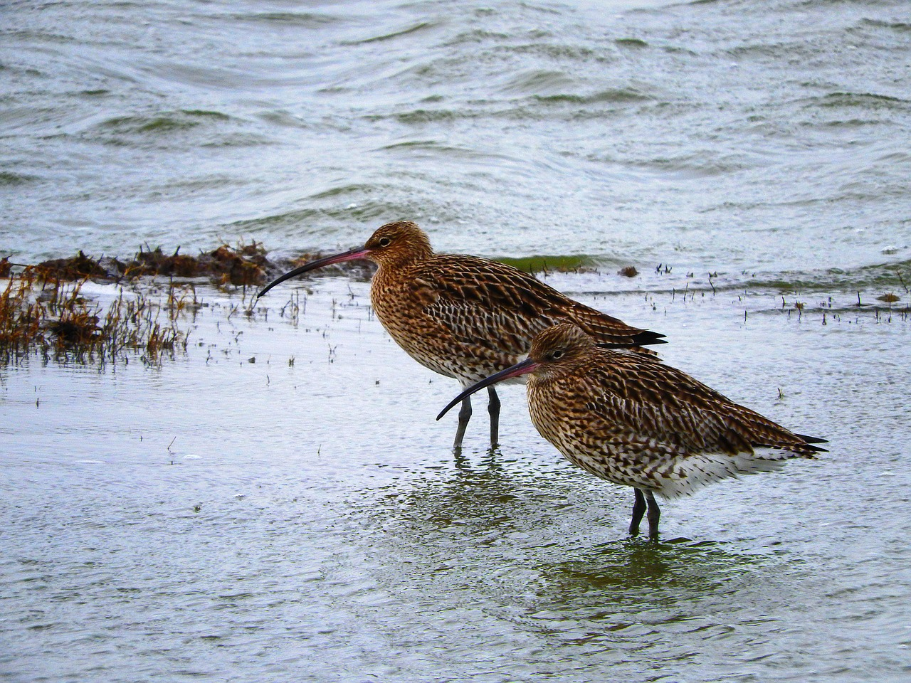 curlew  wader  sea free photo