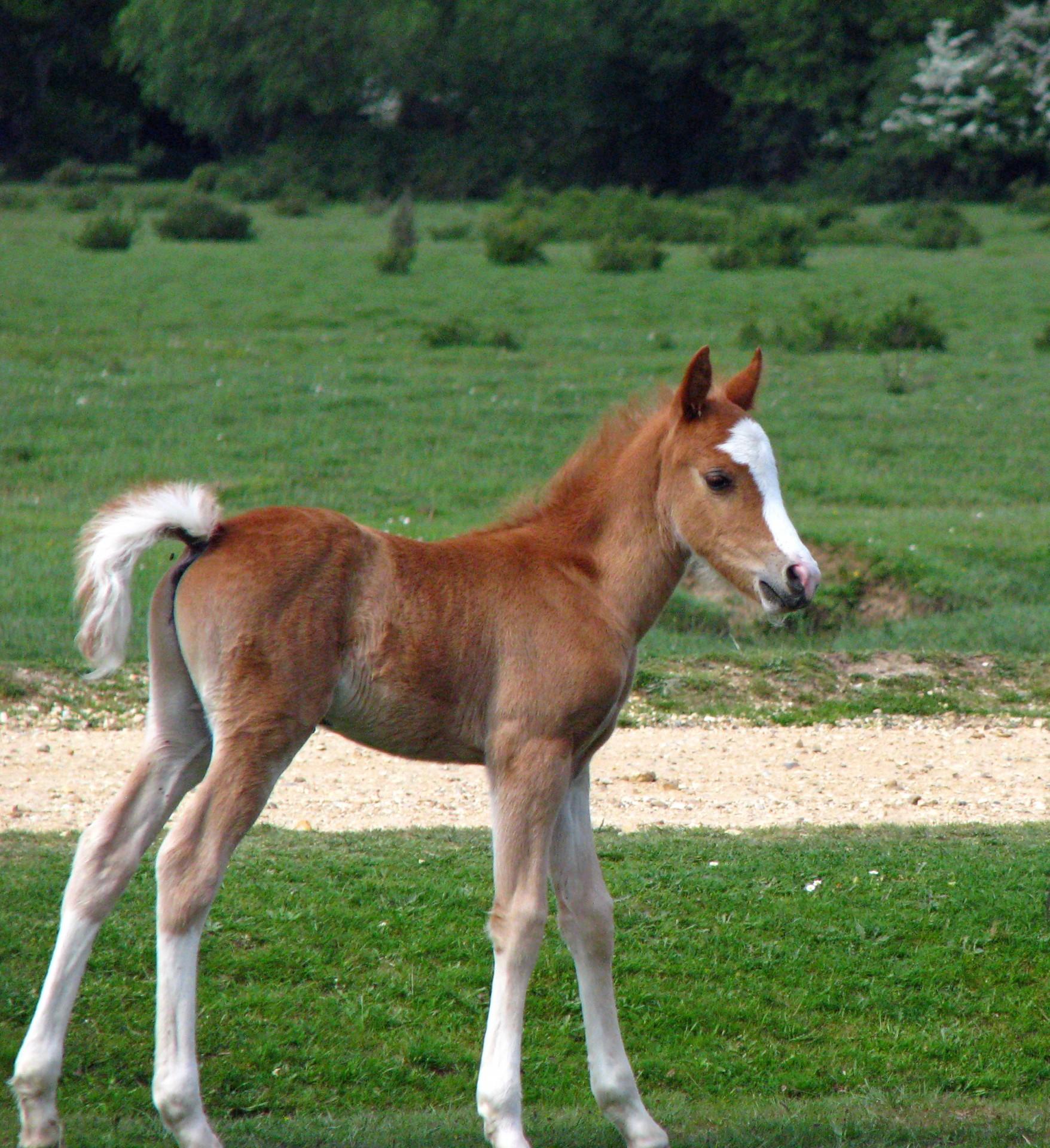 Foal Horse Equine Colt Cute Free Image From Needpix Com