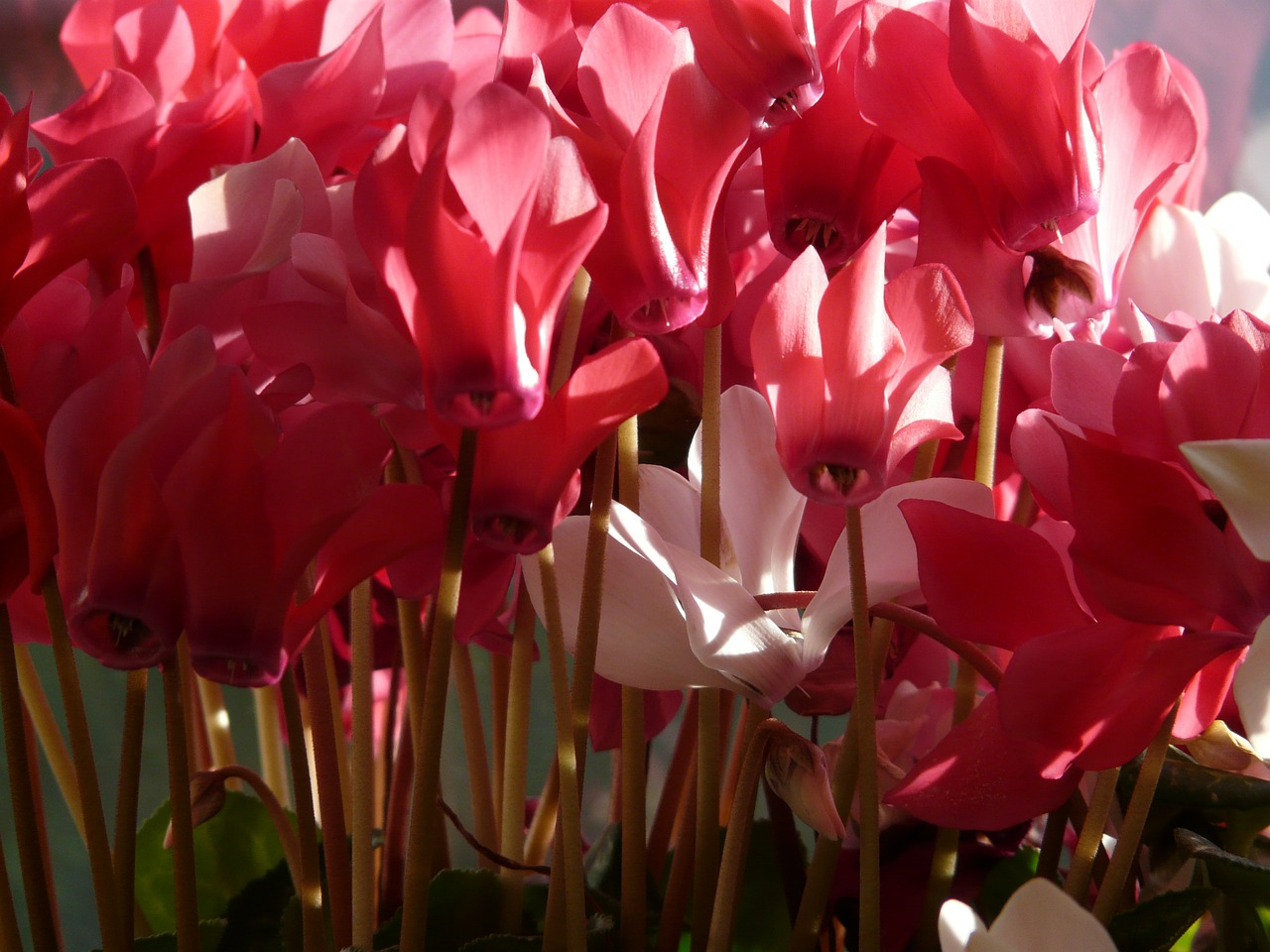 cyclamen flower pink free photo
