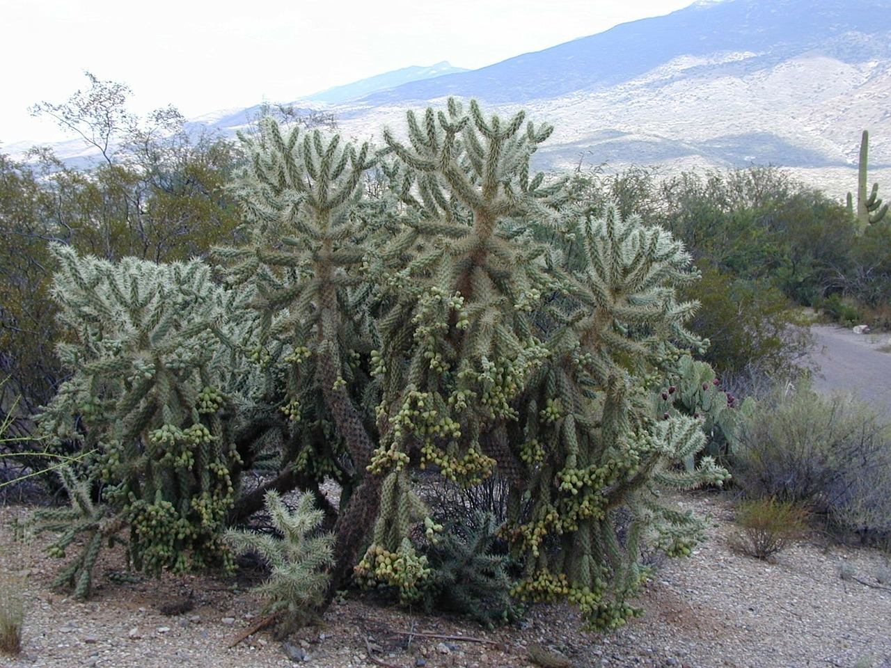 cylindropuntia bigelovii cholla major de oso free photo