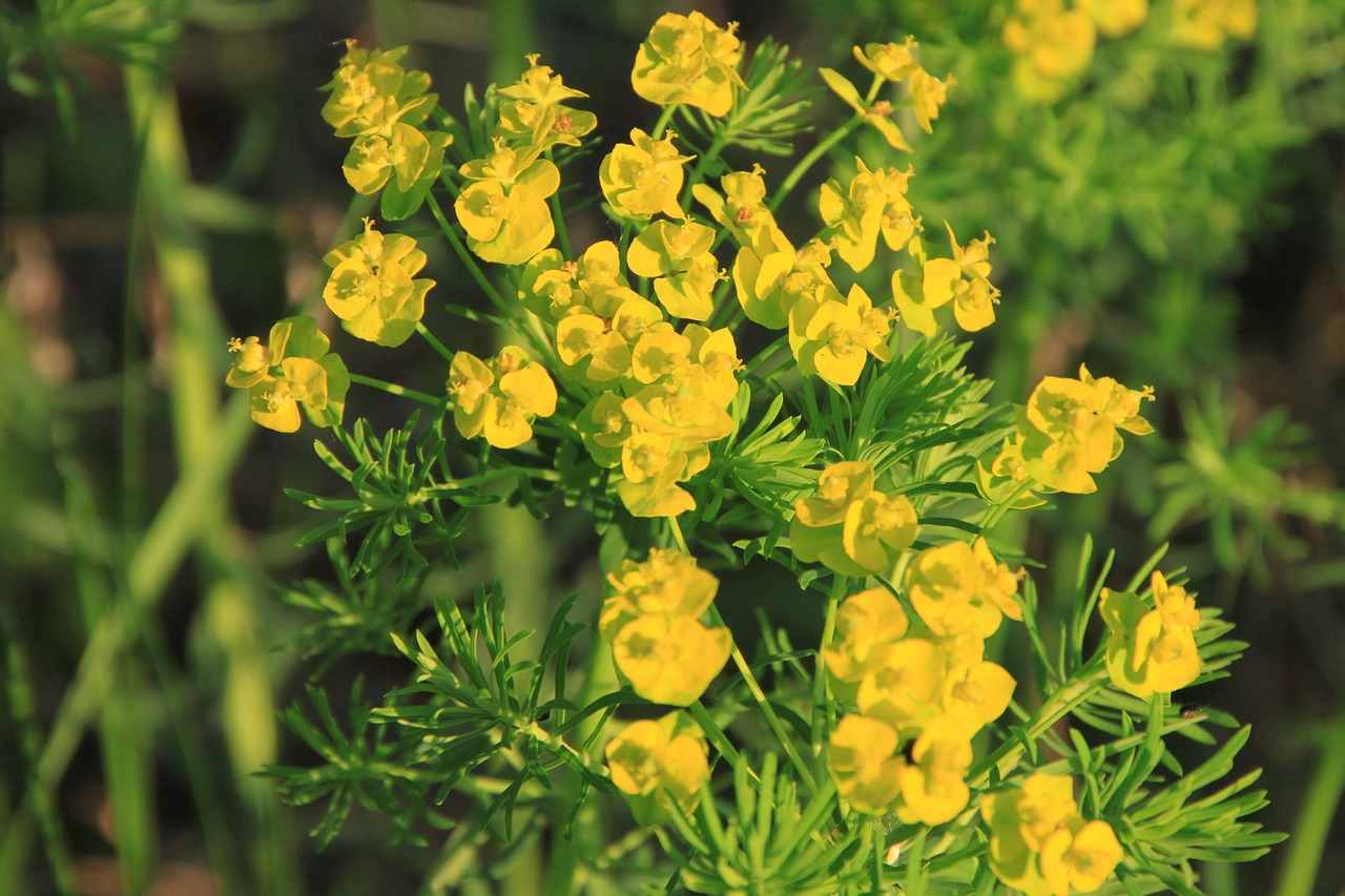 cyparissias flowers flora free photo