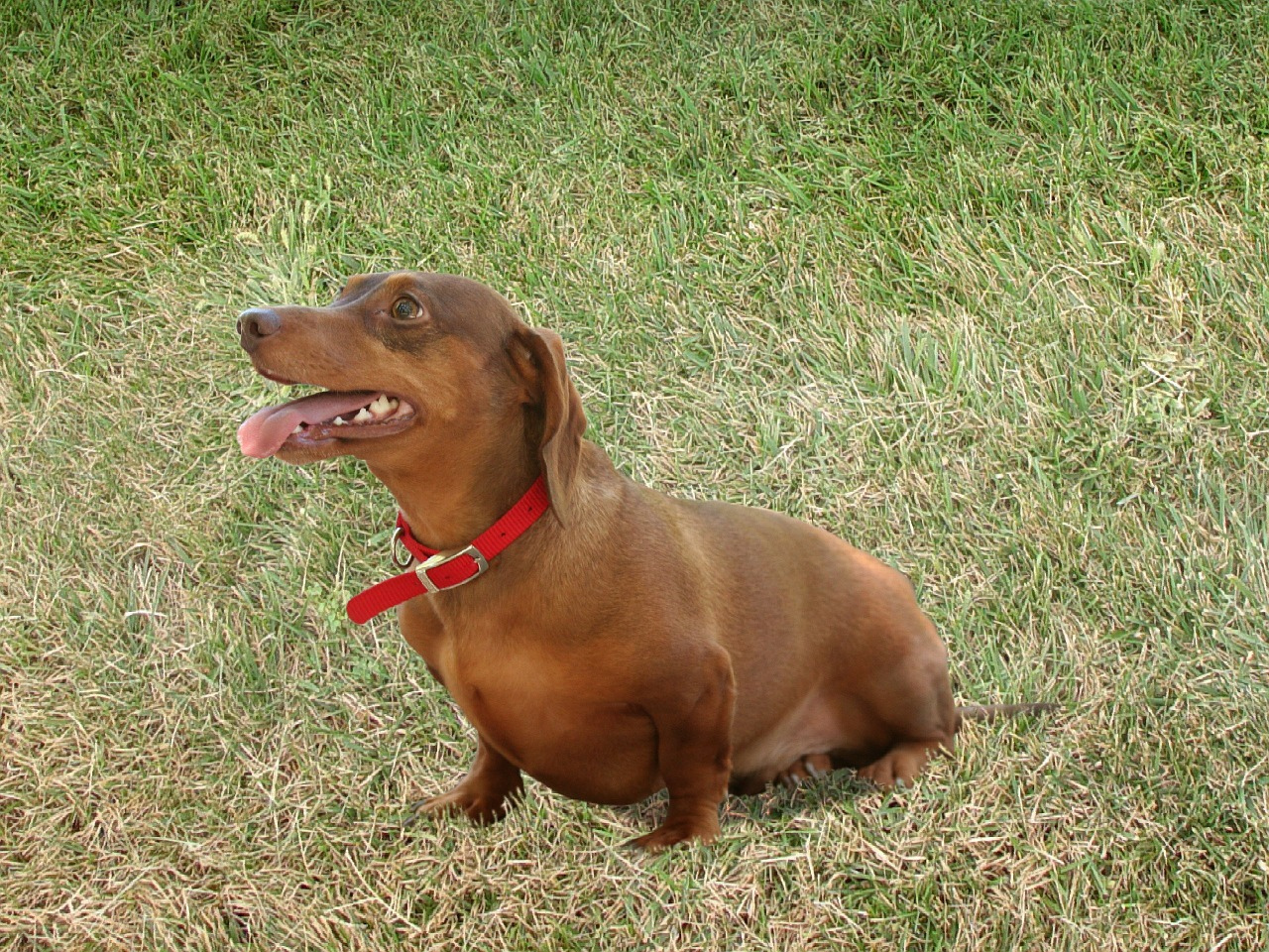 dachshund dogs canines free photo
