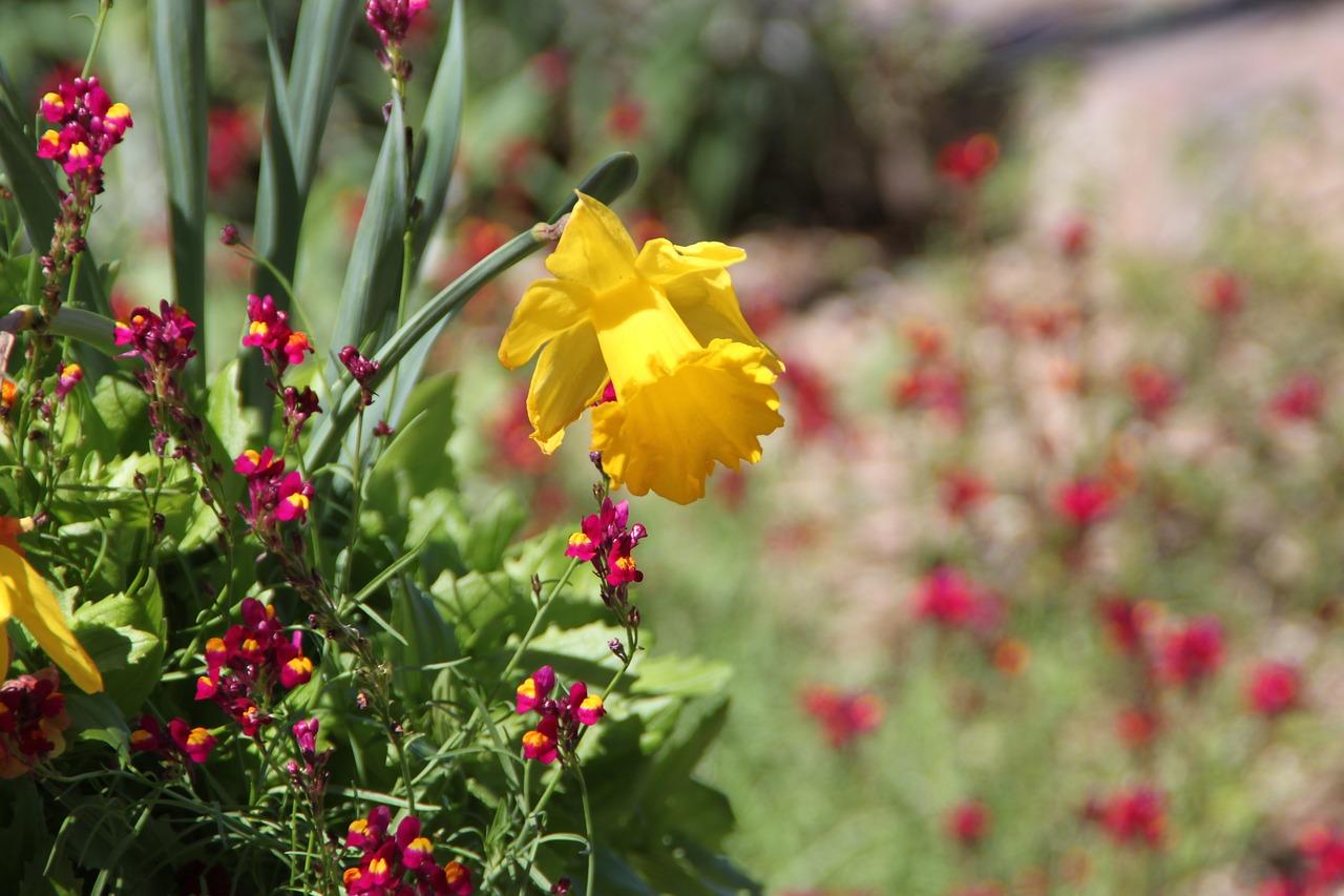 Daffodilsan Antonio Botanical Gardenflowerflora Free Photo From